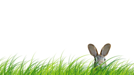 Hidden easter rabbit in a green meadow isolated on white background.