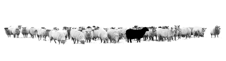 One black sheep standing in the middle of a flock of white sheep Фото со стока