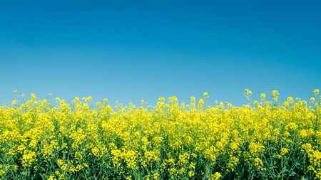 Yellow rapefield with blue sky. Agriculture, environment and energy concept. Zdjęcie Seryjne - 122581490