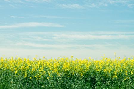 Gelbes Rapsfeld mit blauem Himmel. Landwirtschaft, Umwelt und Energiekonzept. Standard-Bild