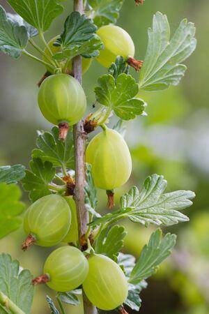 gooseberry bush: Ripe, green gooseberries on a gooseberry bush.