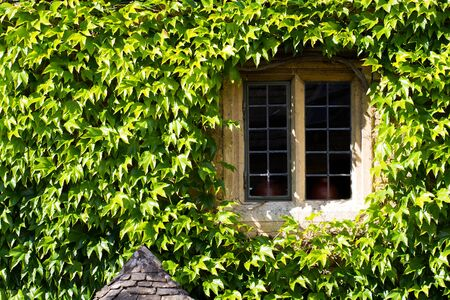 A window and wall of an old stone cottage that is surrounded by the green leaves of a climbing Ivy plant.