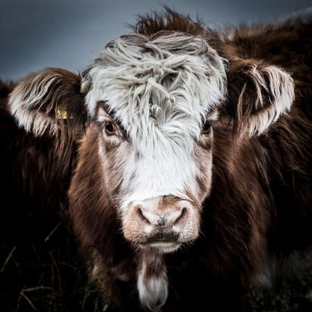 A close up of a hairy Highland Cattle cow