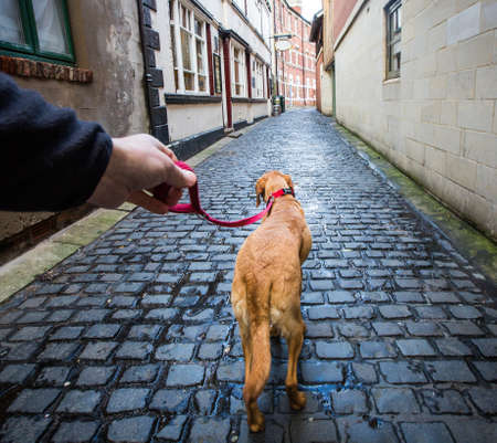 A point of view image of a dog walker taking his pet Labrador retriever for a walk on a lead along a cobbled street in an urban environment