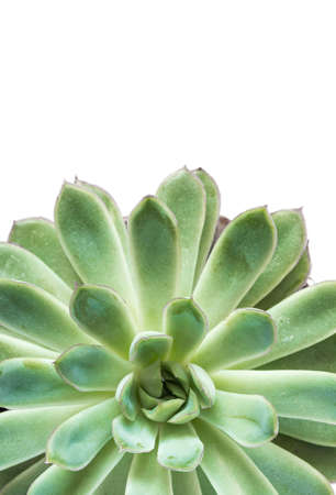 Looking down from above onto a healthy, green succulent plant with lush, green leaves on a white background with copy space