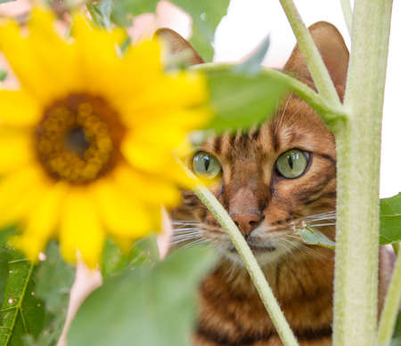 A curious tabby cat or Bengal cat in a beautiful flower garden