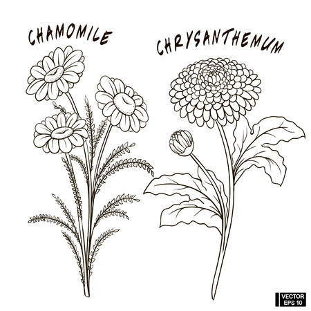 Vector image. A set of flowers, sketches, imitation of a pencil. Chrysanthemum and chamomile