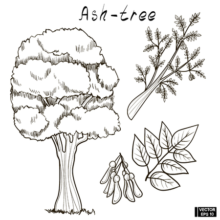 Vector image. A black white sketch of a tree. Doodle set, hand drawing of an ash tree, its branches and seeds. Illustration