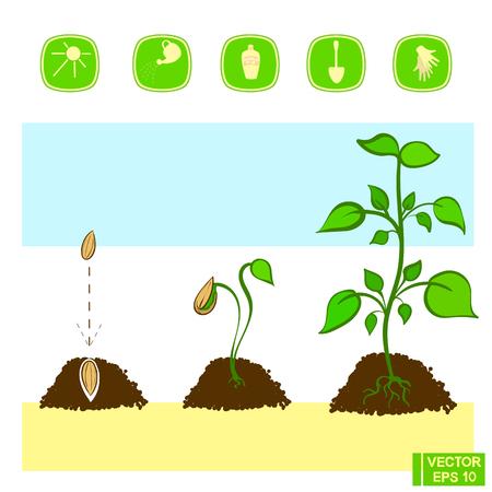 ベクトルの図。植物の栽培。苗の発芽の段階。種からの植物の成長