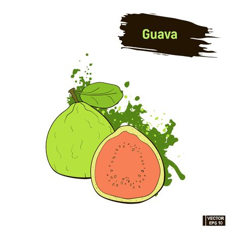 Vector image. Colored sketch of ripe guava. Exotic green fruit, imitation of ink.
