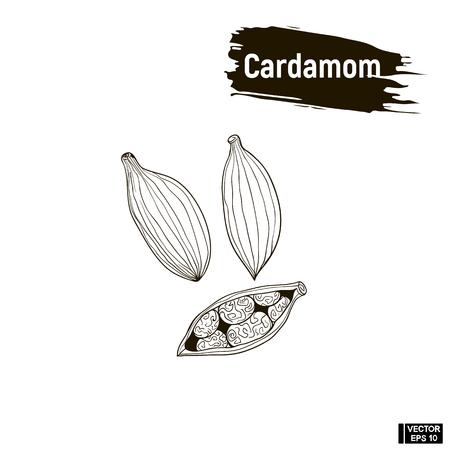 Vector image. Outline black, cardamom. Sketch cardamom, imitation of ink.