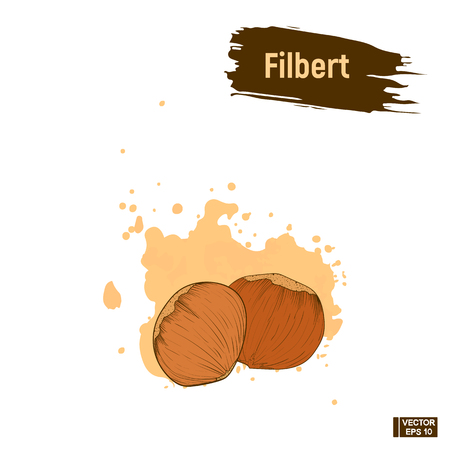 Vector image. Filbert hand drawing. Colored picture of the nut, imitation of ink. Sketch hazelnut