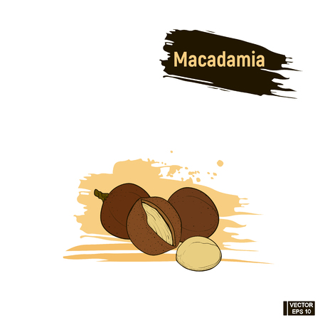 Sketch hazelnuts. A vector image of colored macadamia, imitation of ink. Illustration