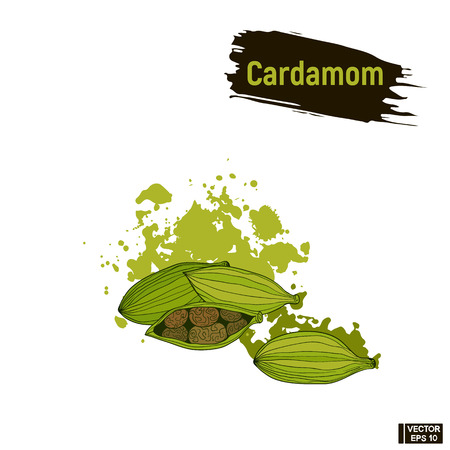 Vector image. Colored sketch cardamom, imitation of ink, blots and splashes.