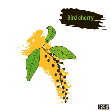 Vector image. Colored drawing of berry. Bird cherry hand drawing sketch, imitation of ink. Illustration