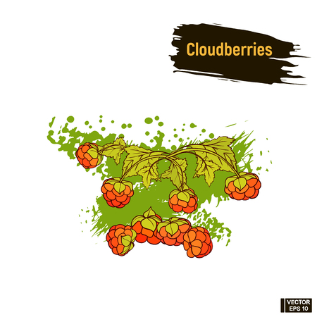 Vector image. Colored drawing of berry. Cloudberries hand drawing sketch, imitation of ink.