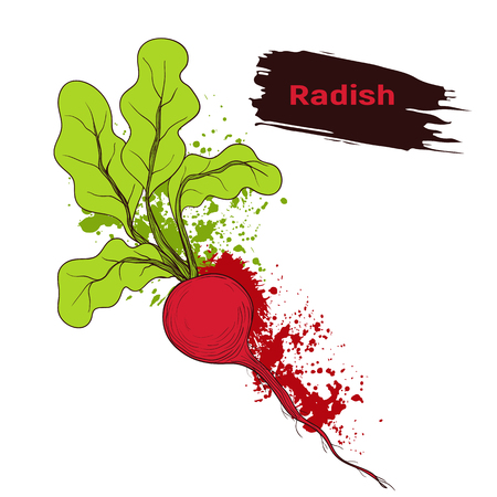 Vegetable sketch, imitation of splashes and blots ink. Hand drawing ripe red radish. Colors quick drawing.