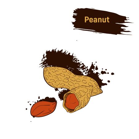 Colored drawing of peanuts sepia. Brown peanut sketch