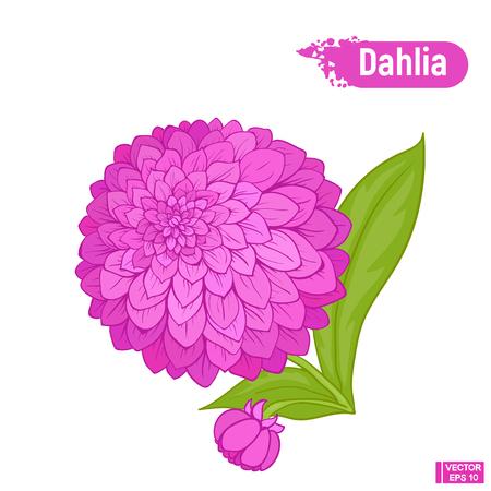 Vector image. Beautiful lush flower dahlia. A blossoming purple flower