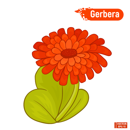Vector image. Blooming gerbera. Isolated picture of an red gerbera on a white background. Illustration