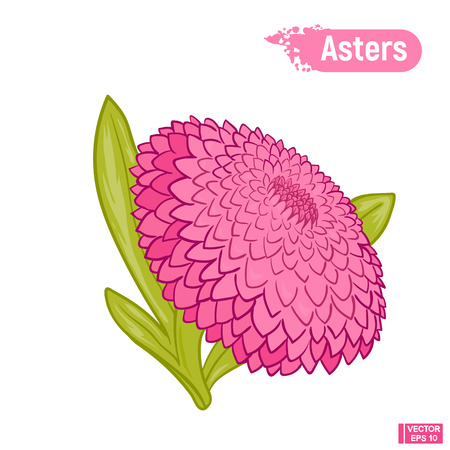 Vector image. A picture of a flower is an aster in color. A pink blossomed flower.