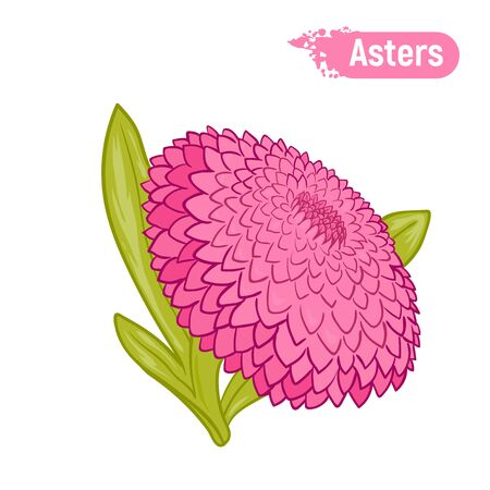 A picture of a flower is an aster in color. A pink blossomed flower.