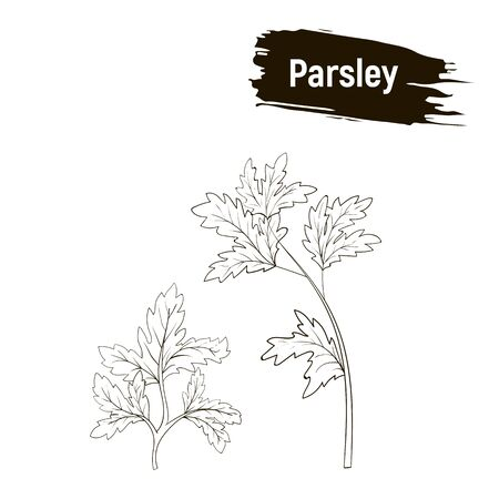 Contour drawing of parsley. Outline image of greenery, imitation of ink.