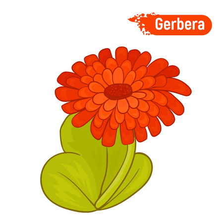 Blooming gerbera. Isolated picture of an red gerbera on a white background.