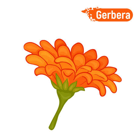 Blooming gerbera. Isolated picture of an orange gerbera on a white background.