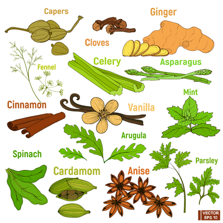 Big set of greenery and spice. Colored collection condiment, hand-drawn ingredient.