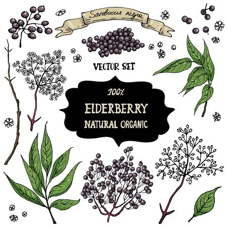 A set of hand-drawn berries isolated. Elder, and black elderberry flowers on a white background. Beautiful  botany illustrations.