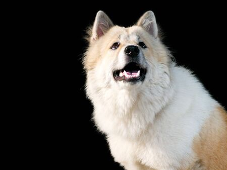 Thai bangkaew dog, this dog are mix from thai dog fox and wolf, female 11 months old.