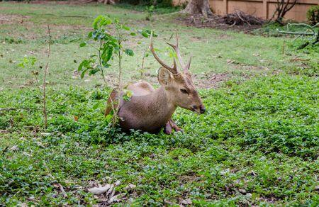 hog: hog deer in zoo Stock Photo