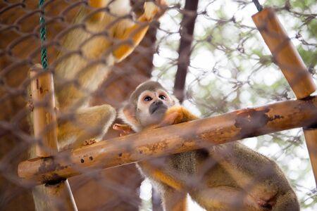 sciureus: Squirrel Monkey in zoo