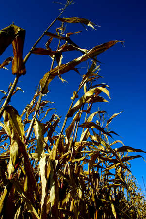 drained: Drained cornfield before blue sky