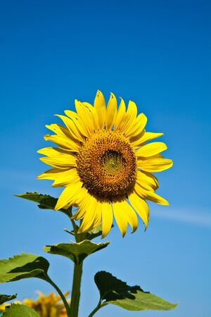 The Sunflower in Thailand photo