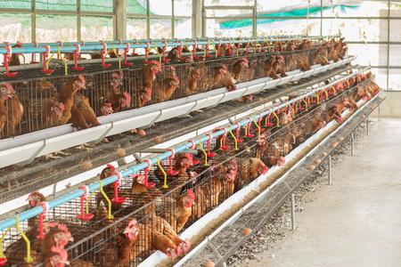 granja avicola: granja de pollos