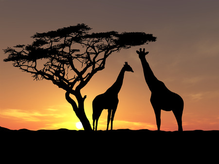 girafe: Two girafes over sunrise near acacia Stock Photo
