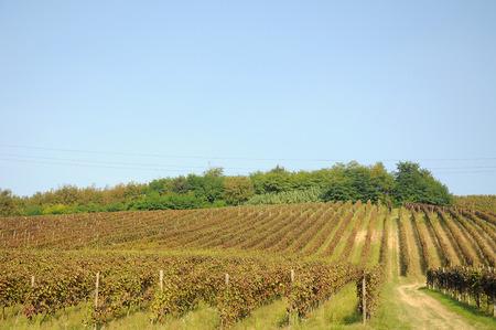 Harvest in October Oltrepo Pavese photo