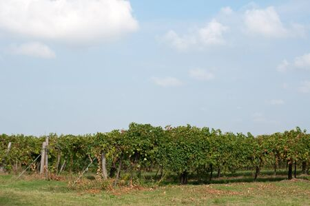 lambrusco: Vineyards of Lambrusco , a typical Italian grape ready to be harvested