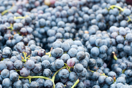 lambrusco: Bunches of grapes Lambrusco , a typical Italian grape ready to be pressed