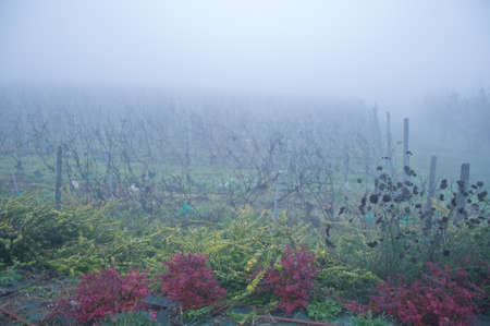 planted: Piedmont vineyards planted with barbera misty,italy Stock Photo