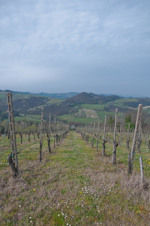 pinot: pinot noir vineyard located Oltrepo Pavese,italy