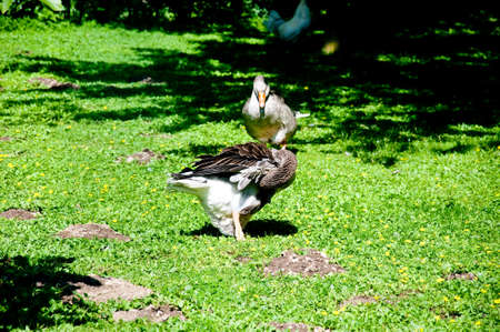 anseriformes: many ducks playing in a green and fresh grass,animal