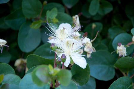 alcaparras: plantas de la fruta de alcaparras que est�n floreciendo