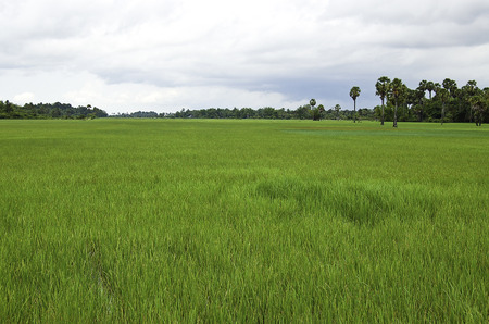 rice fields around the temple of Angkor wat in Canbodia