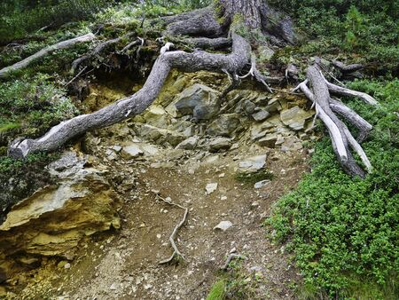 large roots in an old trre