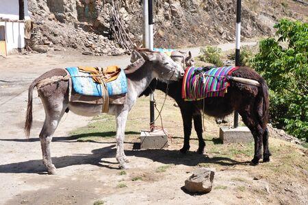 alpamayo: Cordillera blanca - Burros  Stock Photo