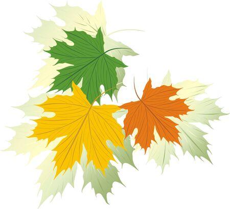 hojas de maple: Tres hojas de arce varicolored. Vector