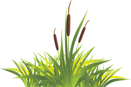 bog: Cane with grass Illustration